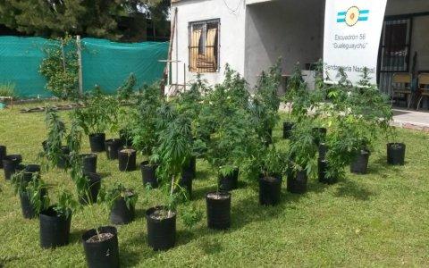 Gendarmería incauto sesenta plantas de marihuana en un domicilio de la ciudad